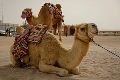 'Sup (mjlacey) Tags: al nikon fort camel qatar zubara d610 ashshamal