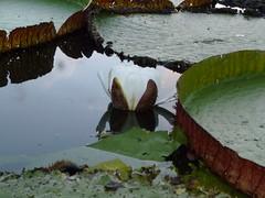 Blooming victoria amazonica