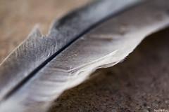 Pluma (Noelia Ruiz Photography) Tags: macro up canon close pigeon dove feather paloma pluma macrophotography colom macrofotografia 2470 60d