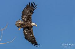 Posing Bald Eagle
