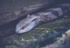 Garden visitor (Jackie888) Tags: reptile australia lizard queensland mygarden mybackyard bluetonguelizard
