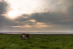 Cattle (BunduBasher) Tags: summer sky sun grass clouds sunrise cattle kwazulunatal zululand