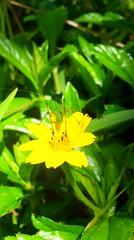 Tiny grasshopper (byohanessabatino) Tags: flower green nature yellow grasshopper
