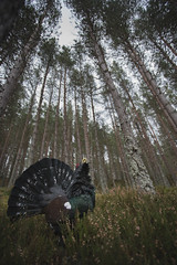 Displaying Capercaillie (Daniel Trim) Tags: bird nature scotland display wildlife western caledonian displaying capercaillie tetrao urogallus