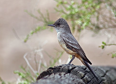 Say's Phoebe (Sayornis saya) (Ron Wolf) Tags: california bird nature wildlife blm flycatcher tyrannidae saysphoebe sayornissaya jawbonecanyon avianexcellence