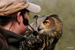 Briefing (Nephentes Phinena ☮) Tags: uhu europäischeruhu europeaneagleowl eagleowl eule owl falconry falknerei bird birds animals