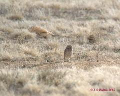 March 22, 2015 - Burrowing Owls near DIA.  (Ed Dalton)
