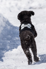 Nano au jeu - Too cute! (Sophie 33) Tags: chien qubec neige nano avril printemps balle caniche nikon300mm nikond4s