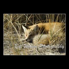 Nap Time (wildlifephotonj) Tags: nature wildlife fox foxes naturephotography redfox naturephotos redfoxes wildlifephotography wildlifephotos natureprints wildlifephotographynj naturephotographynj