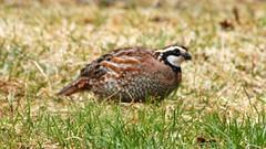 Northern Bobwhite, Home, 04/20/15 (TonyM1956) Tags: tonymitchell duluth stlouiscounty minnesota nature birds quail northernbobwhite sonyphotographing sonyalphadslr