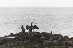 Cormorants (JoshJackson84) Tags: sea beach birds cormorants iceland rocks europe seabirds snfellsnes snaefellsnes canon60d sigma18250mm