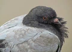 Animal portrait (carlos_ar2000) Tags: portrait bird argentina buenosaires retrato pigeon dove paloma ave pajaro mirada glance puertomadero