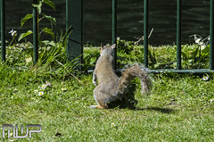 DSC_3051 (mikewarnerphotography) Tags: squirrel grove carshalton mwp