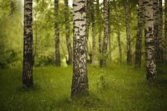 ...... (proffkom_) Tags: vintage grove bokeh ukraine grlitz birch analogue manual pentacon 28135 meyer 135mm  optik  bukovina orestor  retrolens