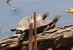 Eastern Painted Turtle (lycaenidae_nm) Tags: kenilworthbioblitz