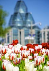 A very special tulip (Jamie McCaffrey) Tags: birthday canada netherlands dutch fuji dof bokeh anniversary ottawa canadian tulip fujifilm redandwhite tulipfestival nationalgalleryofcanada commissioned 2016 majorshillpark 150th xt1 50140 canada150