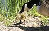 Baby Canada Goose, Lohja