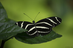 Butterfly 2016-68 (michaelramsdell1967) Tags: white plant black detail green love nature beautiful beauty animal animals closeup butterfly bug garden insect hope spring focus natural bokeh vibrant butterflies vivid insects bugs zen upclose