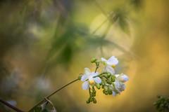 Light and Shadow (satochappy) Tags: light shadow white flower green yellow weeds sydney australia  balloonvine  heartseed cardiospermumgrandiflorum