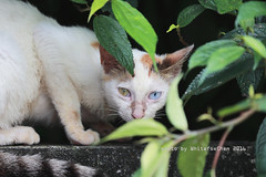 I see U (Whitefox Chen) Tags: cute cat canon eyes taiwan kitty   6d canon70300mm