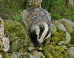 look at the................. (Suzie Noble) Tags: wall mammal badger badgers mustelid stonedyke strathglass struy
