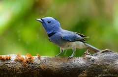 / Black-naped Monarch / Hypothymis azurea (male) (bambusabird) Tags: blue birds animals forest thailand nikon rainforest outdoor wildlife monarch tropical chiangmai oriental flycatcher bambusabird