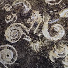 Fossil Detail 1 of 3 (fstop186) Tags: life shells detail macro beach nature lines stone fossil chalk sand ancient shadows curves tubes olympus science cliffs worms prehistoric silt em1 olympusmzuiko60mmf28macro