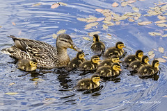 061216 First Outing (wildcatlou) Tags: nature outside pond mother ducks ducklings motherhood mallards latespring brood mcleancreekpark