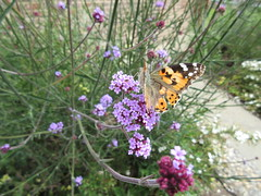 Chasing the Painted Lady IMG_9103 (tomylees) Tags: june butterfly 16th thursday essex paintedlady braintree 2016
