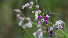 hedgerow flowers ---  flores del seto (Roger S 09) Tags: flowers flor asturias senda santaeulalia cabranes santolaya lallantada