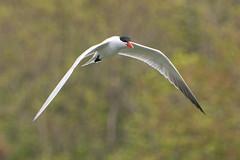 DUD_3844r (crobart) Tags: lake ontario bird birds port caspian erie tern dover