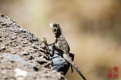Agama Agama? (DragonSpeed) Tags: africa tanzania reptile safari arusha agama agamalizard oldupaigorge olduvaigorge ngorongoroconservationarea tzday02 africanwildcatsexpeditions