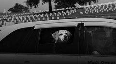 Nothing like taking the dog for a ride... (mark owens2009) Tags: woman dog chattanooga car tennessee nationalcemetery