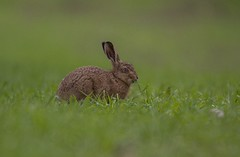Hare (amandahaxby) Tags: nature canon hare wildlife yorkshire normal