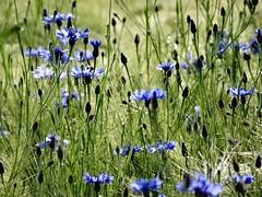 Sublimity! (rockwolf) Tags: france barley flora indre crop wildflowers cereals cornflower 2016 cornflowers centaureacyanus labrenne rockwolf