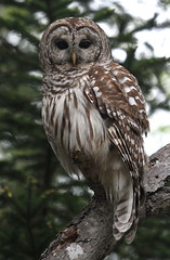 Barred Owl (jd.willson) Tags: me nature birds island bay wildlife birding maine owl jd penobscot barred willson islesboro jdwillson