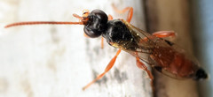 6.2 mm female ichneumon (ophis) Tags: ichneumon hymenoptera ichneumonidae ichneumonoidea ichneumoninae parasitica phaeogenini