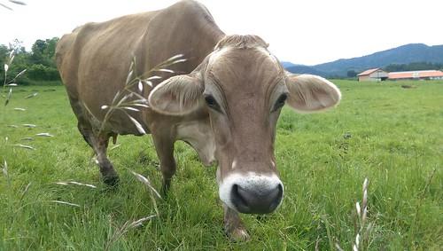 Braune Kühe am Wegesrand vor Eschach