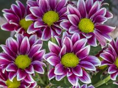 Cluster of purple Daisy flowers in bloom (PriscillaBurcher) Tags: africandaisy osteospermum capedaisy southafricandaisy blueeyeddaisy margaritaafricana margaritadeelcabo margaritadefricadelsur l1690440
