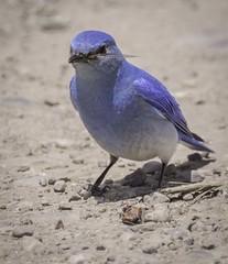 DSCF8763lr (HDRob) Tags: mountainbluebird bluebird grandtetonnationalpark grandtetons bird wildlife