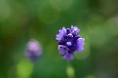 (*suika *) Tags: macro bokeh lavender mygarden  tamron90mm    lavendor