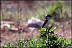IMG_0686 Woodchat Shrike (ryancarter2012) Tags: menorca cala shrike galdana woodchat