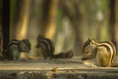 Eat! (Pranjal Mittal) Tags: park morning sunlight squirrel hills seminary nagpur