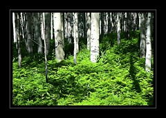 Aspen Forest (Jayhawk Explorer) Tags: ipiccy artisticpainting smartphotoeditor blackbordergreystroke aspens ferns sliderssunday trees forest light green white artistic aspenforest keblerpass colorado co roadtrip