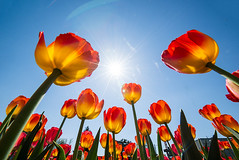 The shiny Tulips (Mahmoud Abuabdou) Tags: vienna wien flowers blue sky orange sun flower color colour nature beautiful rose yellow austria sterreich spring interesting flora nikon colorful exposure shine angle tulips low perspective rosa tulip flare colourful ultrawide catchy d610 14mm