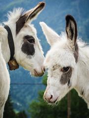 P7223882 (martin.jooss) Tags: mountain panorama alpen sterreich outdoor landschaft hgel berg donkey esel