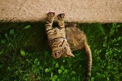 Wild (Casey Christi) Tags: kitty kitten kittycat cat feline pet furbaby tabby tabbycat grass summer nature animal cute aww green outdoor nikond7000 nikon d7000 35mm