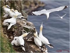 Nest Raider IVa_L7Q8207 (See previous shots) (The Terry Eve Archive) Tags: gannet guga gull herringgull predditor rspbreserve rspbtrouphead trouphead naturereservemoray coastaberdeenshirecliff top colony terryevephotography