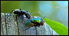 The Harvest (J Michael Hamon) Tags: fly ant harvest bug insect predator macro nature carpenterant photoborder hamon nikon d3200 nikkor 40mm micro