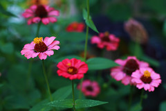 Zinnia 07-24-16 (MelenaMe) Tags: garden flower flowers nature plant leaf leaves zinnia outdoor